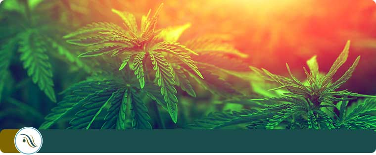 Medical Marijuana Consultations in Wesley Chapel, FL